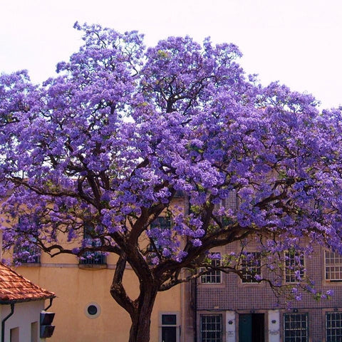 Empress Tree Seeds (Paulownia tomentosa) + FREE Bonus 6 Variety Seed Pack - a $30 Value!