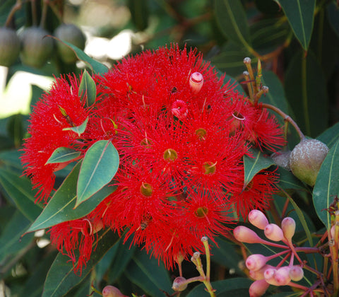Red Flowering Gum Seeds (Corymbia ficifolia)