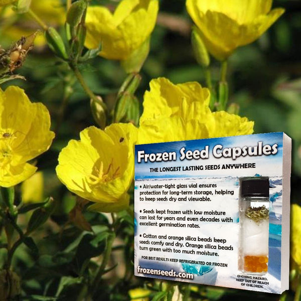 Evening Primrose Seeds (Oenothera biensis) + FREE Bonus 6 Variety Seed Pack - a $30 Value!