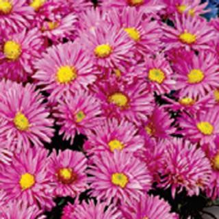 Andrella Super Mix Asters Seeds + FREE Bonus 6 Variety Seed Pack - a $30 Value!