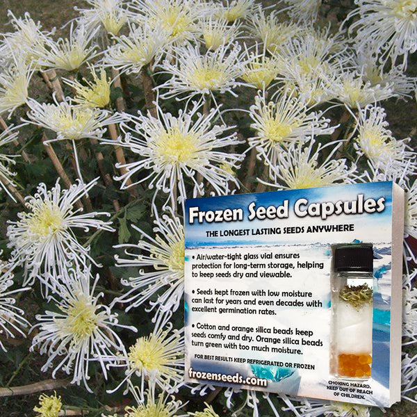 White Stars Feverfew Seeds (Tanacetum parthenium 'White Stars') + FREE Bonus 6 Variety Seed Pack - a $30 Value!
