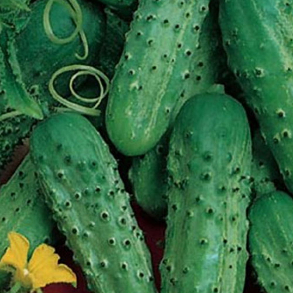 Fin De Meaux Cucumber Seeds + FREE Bonus 6 Variety Seed Pack - a $30 Value!