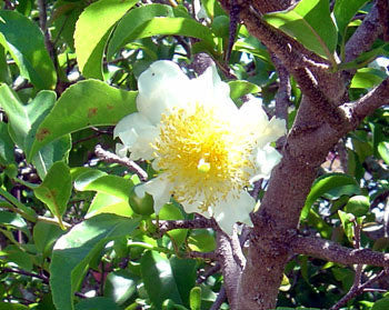 Fried Egg Tree Seeds (Oncoba spinosa) + FREE Bonus 6 Variety Seed Pack - a $30 Value!