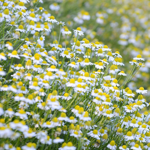 German Chamomile Seeds (Matricaria recutita)
