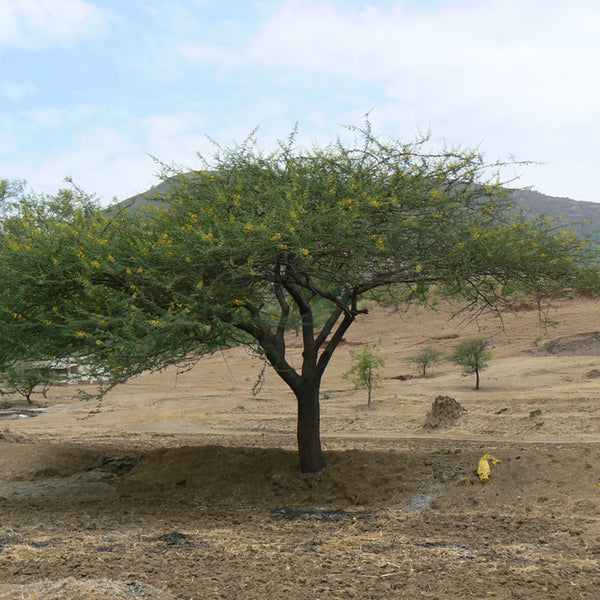 Gum Arabic Tree Seeds Seeds (Acacia senegal)