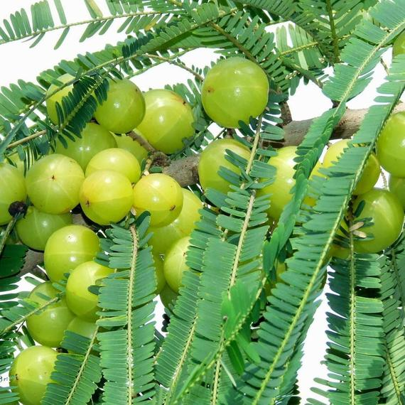 Amla Seeds (Emblica officinalis)