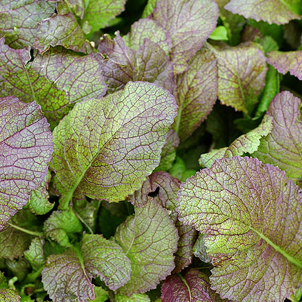 Japanese Giant Red Mustard Greens Seeds