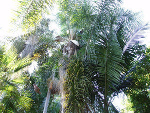King Palm Seeds (Archontophoenix cunninghamiana) + FREE Bonus 6 Variety Seed Pack - a $30 Value!
