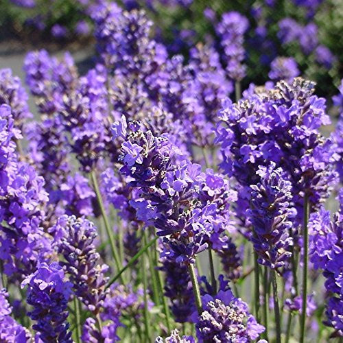 Lavender Seeds (Lavandula officinalis)