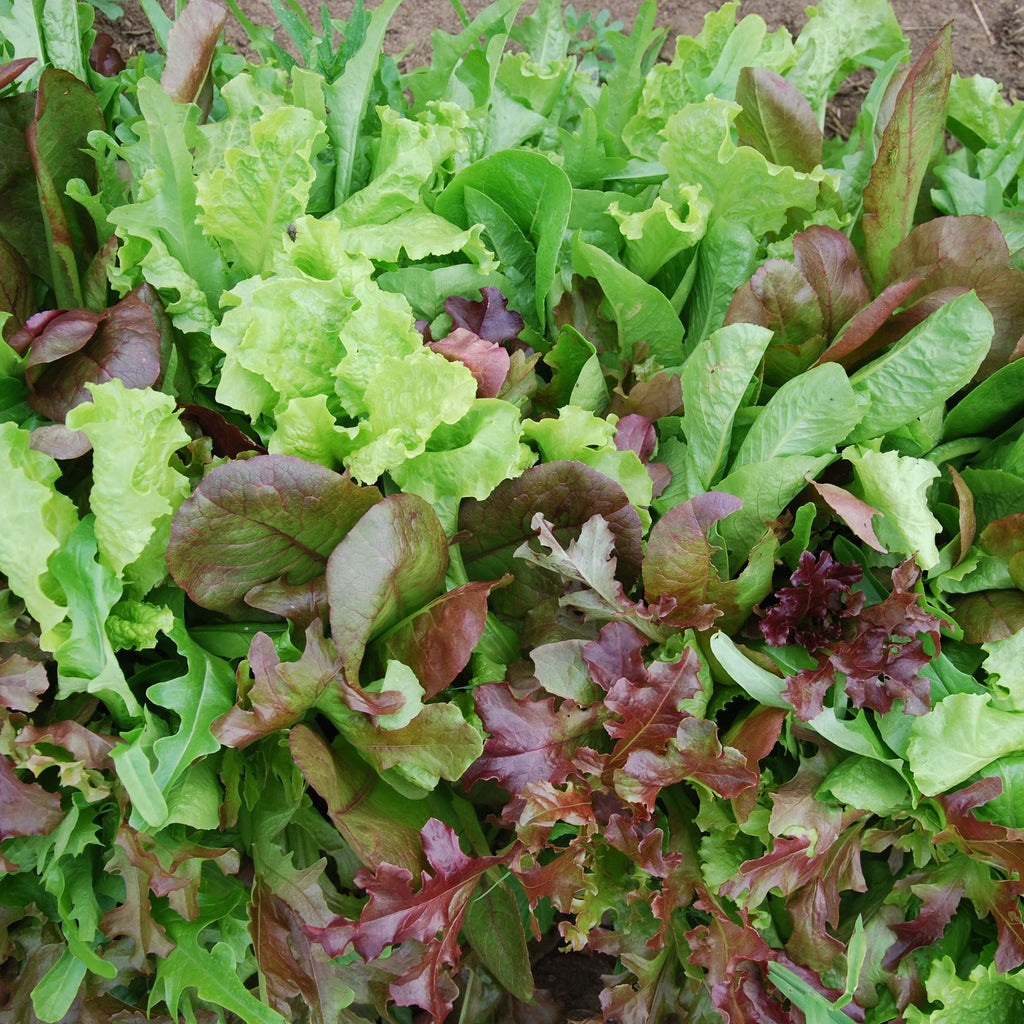 European Mesclun Mix Salad Blend Seeds
