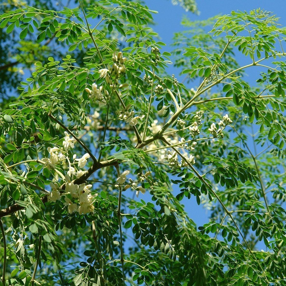 Dwarf Moringa Tree Seeds