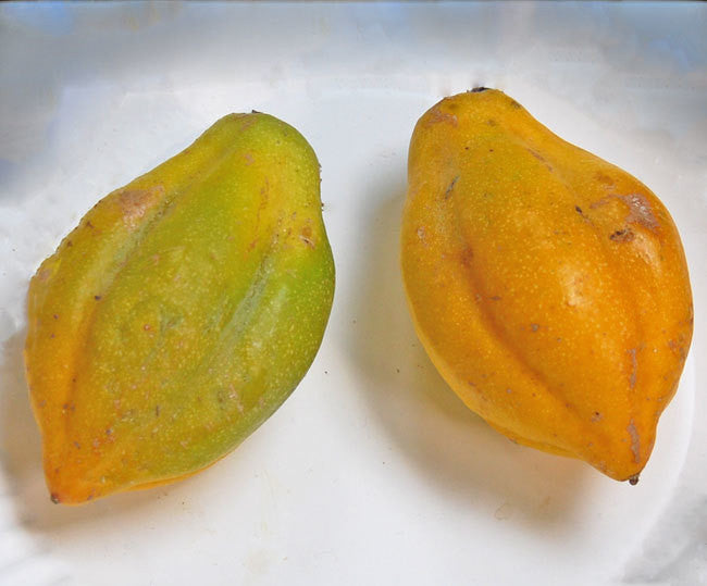 Mountain Papaya Seeds (Carica pubescens)