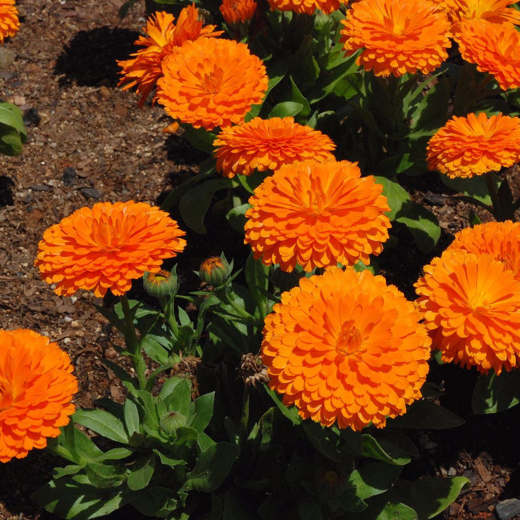 Orange King Calendula Seeds (Calendula officinalis)
