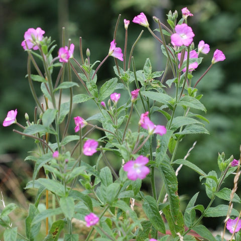 Willowherb Seeds (Epilobium parviflorum)