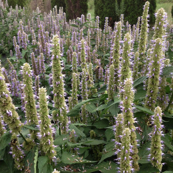Purple Giant Hyssop Seeds (Agastache scrophulariifolia)