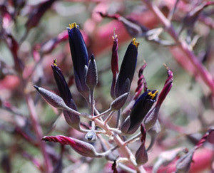 Black Sapphire Tower Seeds (Puya coerulea violacea) + FREE Bonus 6 Variety Seed Pack - a $30 Value!