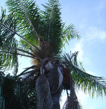 Queen Palm Seeds (Syagrus romanzoffianum) + FREE Bonus 6 Variety Seed Pack - a $30 Value!