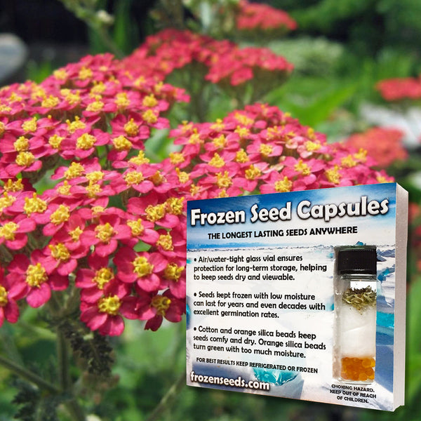Red Yarrow Seeds (Achillea millefolium 'Cerise Queen') + FREE Bonus 6 Variety Seed Pack - a $30 Value!