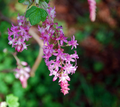 Red Flowering Currant Seeds (Ribes sanguineum) + FREE Bonus 6 Variety Seed Pack - a $30 Value!