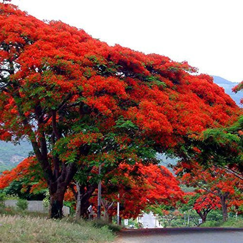 Royal Poinciana Flame Tree Seeds (Delonix regia)