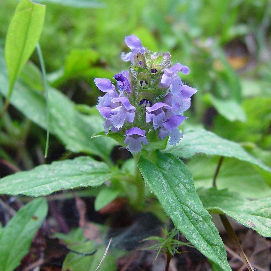 Self-Heal Seeds (Prunella vulgaris)