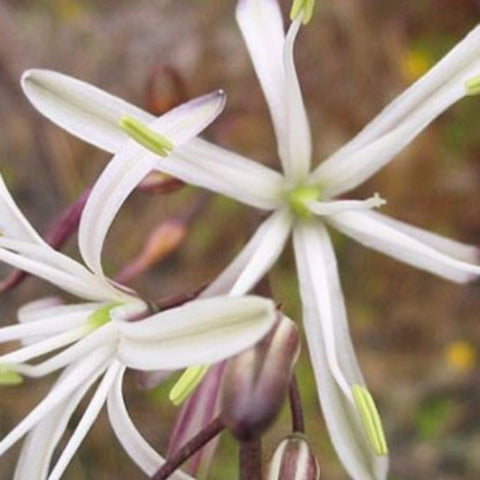 Soap Lily Seeds (Chlorogalum pomeridianum)