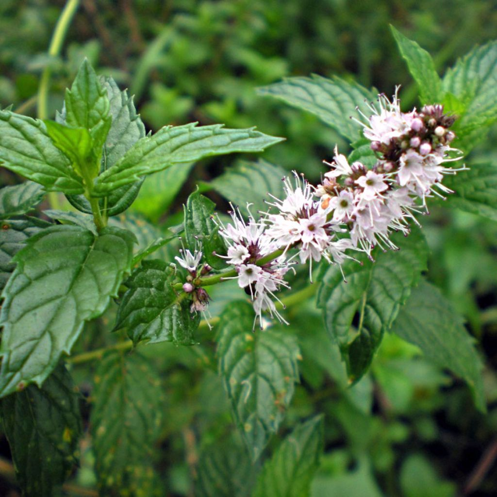 Spearmint Seeds (Mentha spicata)