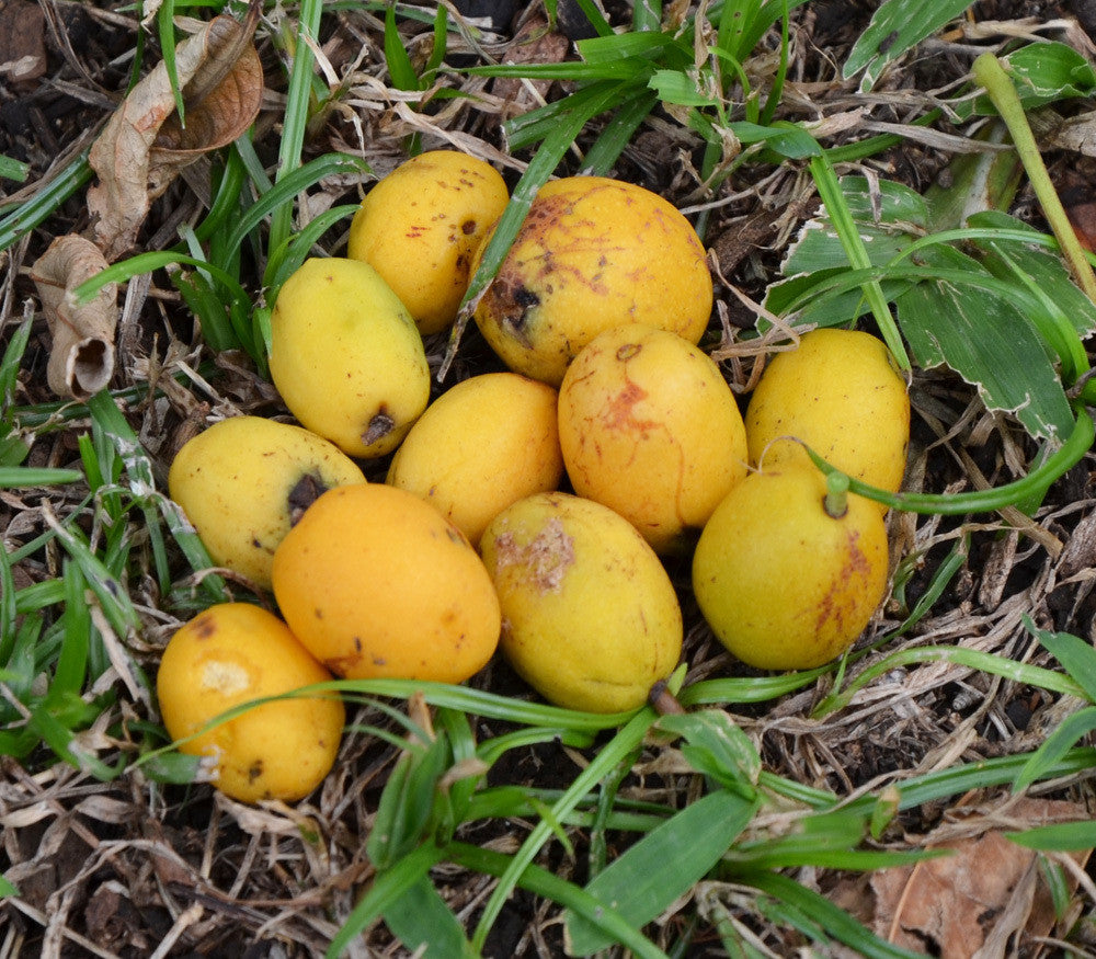 Yellow Mombin Seeds (Spondias mombin)