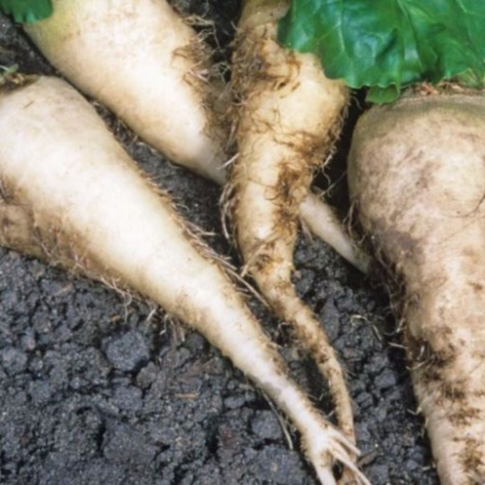 "Sugar Beet Seeds (Beta vulgaris ""Beta 1127"") + FREE Bonus 6 Variety Seed Pack - a $30 Value!"
