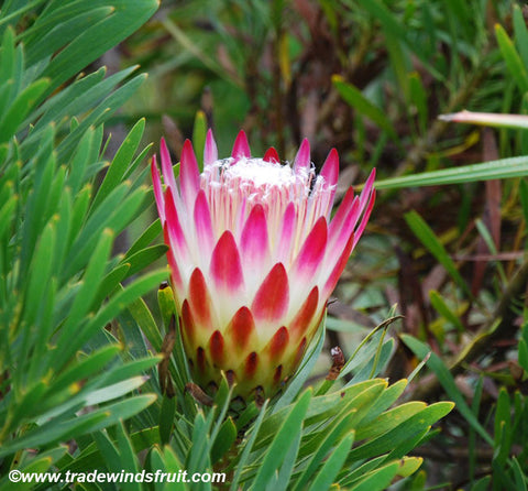 Sugar Bush Protea Seeds (Protea repens) + FREE Bonus 6 Variety Seed Pack - a $30 Value!