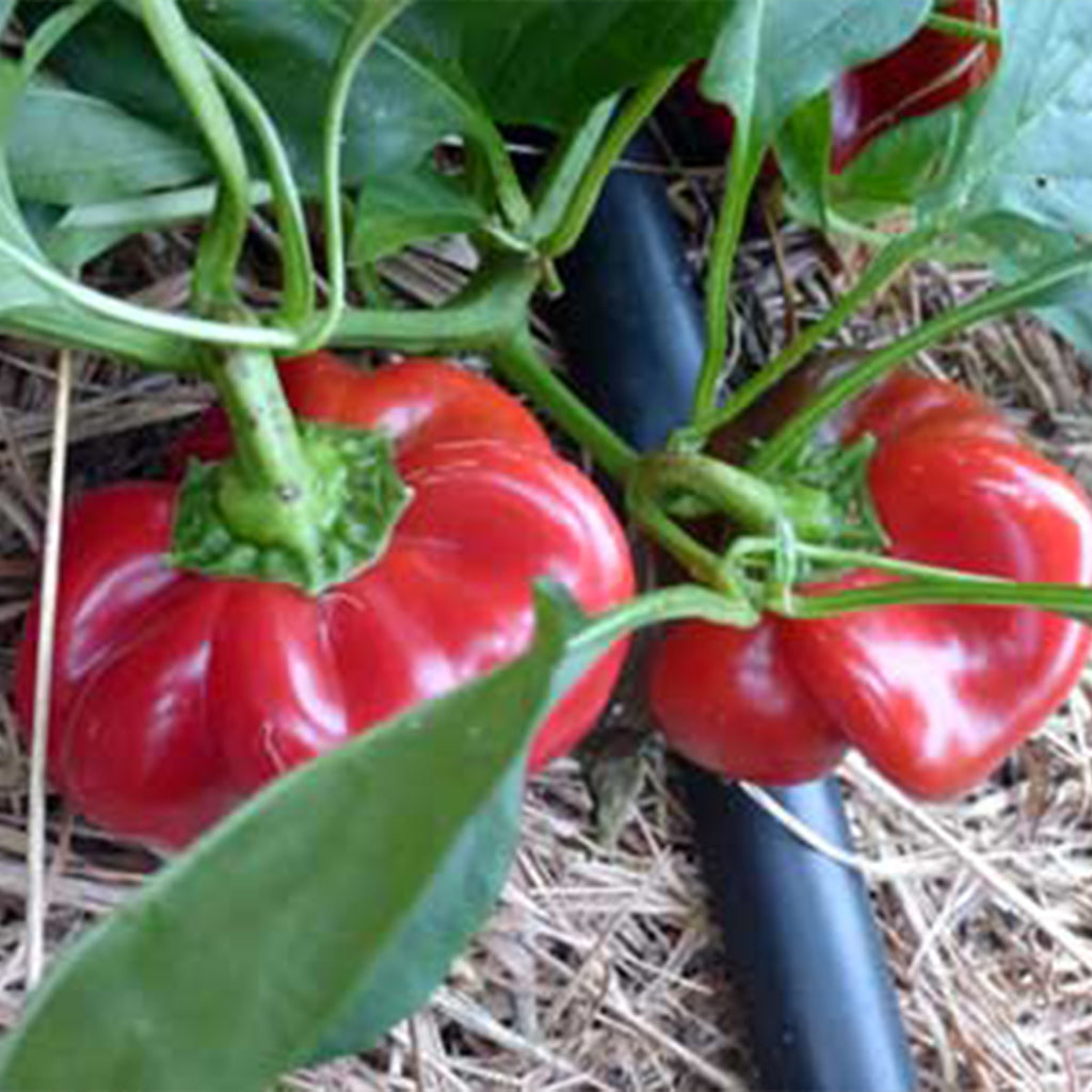Gambo Sweet Pepper Seeds