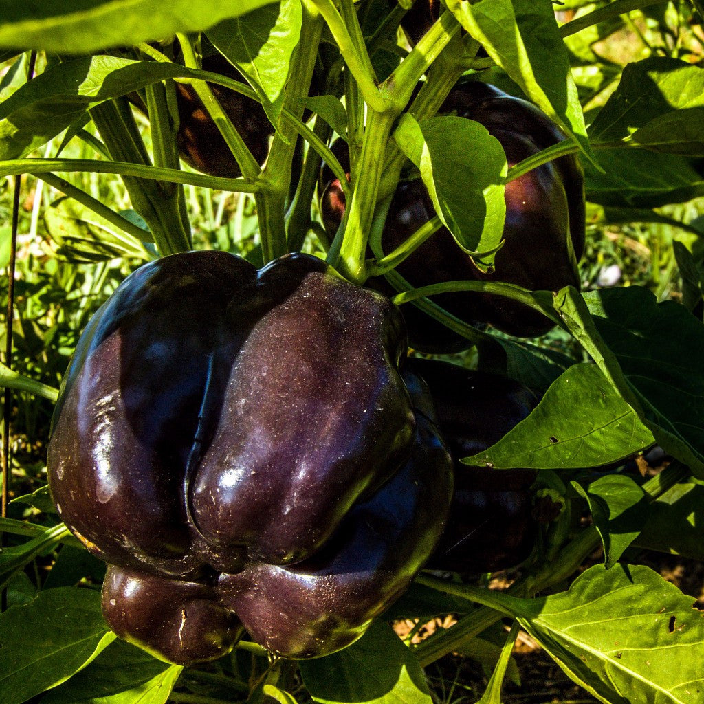 Sweet Purple Beauty Pepper Seeds (Capsicum annuum)