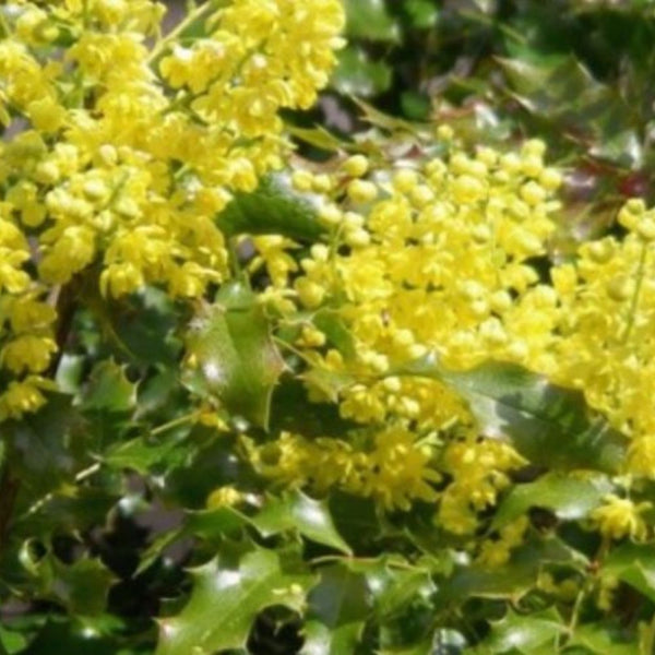 Tall Oregon Grape Seeds (Mahonia aquifolium)