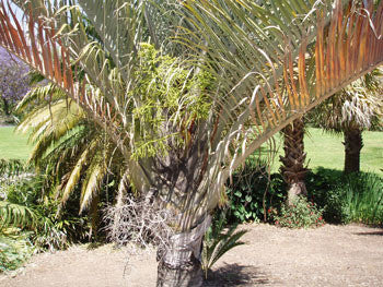 Triangle Palm Seeds (Neodypsis decaryi) + FREE Bonus 6 Variety Seed Pack - a $30 Value!