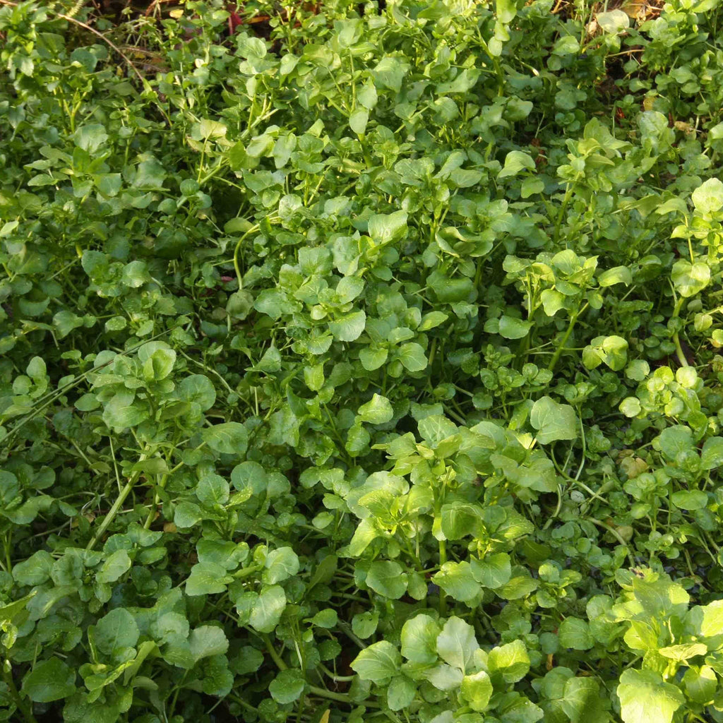 Watercress Seeds (Nasturtium officinale)