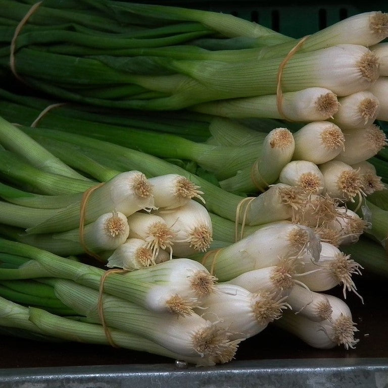 Welsh Onion Seeds (Allium fistulosum)