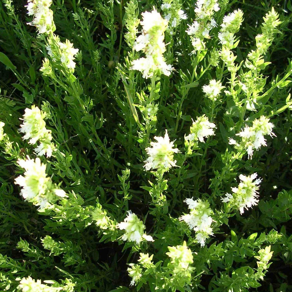White Nectar Hyssop Seeds (Hyssopus officinalis)