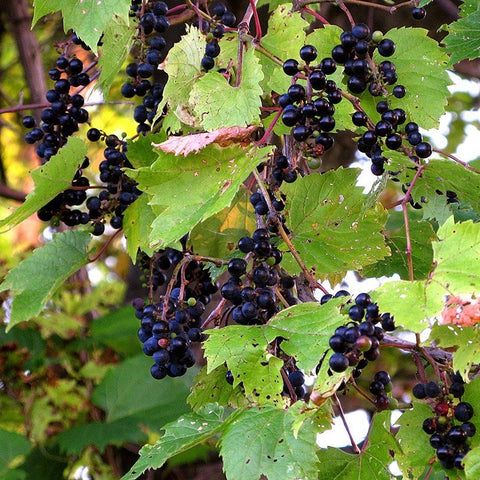 Wild Grape Vine Seeds (Vitis riparia)