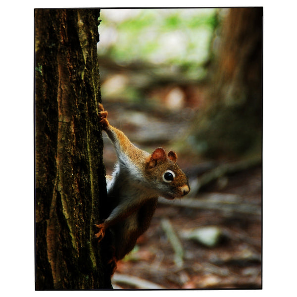 Red Squirrel Photo Framed Print Jay El