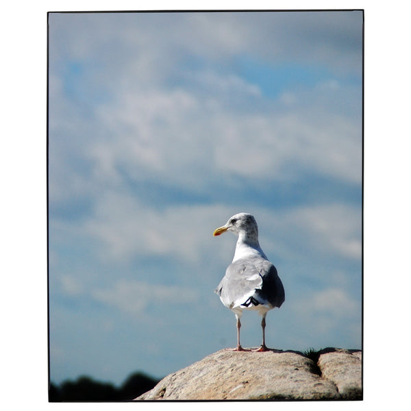 Sea Gull Eastern Point Photo Framed Print Jay El