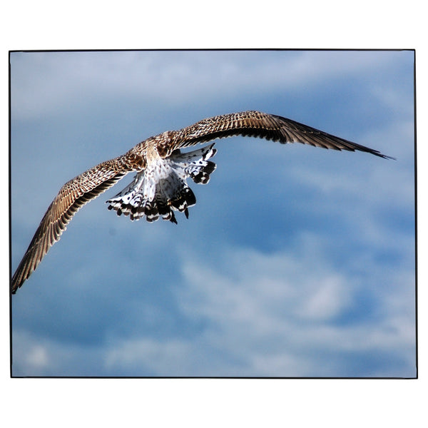 Sea Gull Flight Tail Fan Photo Framed Print Jay El