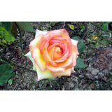 200 pcs of exotic Rose seeds - SALE LAB