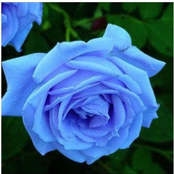 200 pcs Rare Rose Seeds - SALE LAB