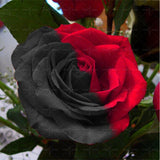 200 pcs Colorful Rose Seeds - SALE LAB