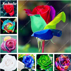 200 pcs Rainbow Rose Seeds - SALE LAB