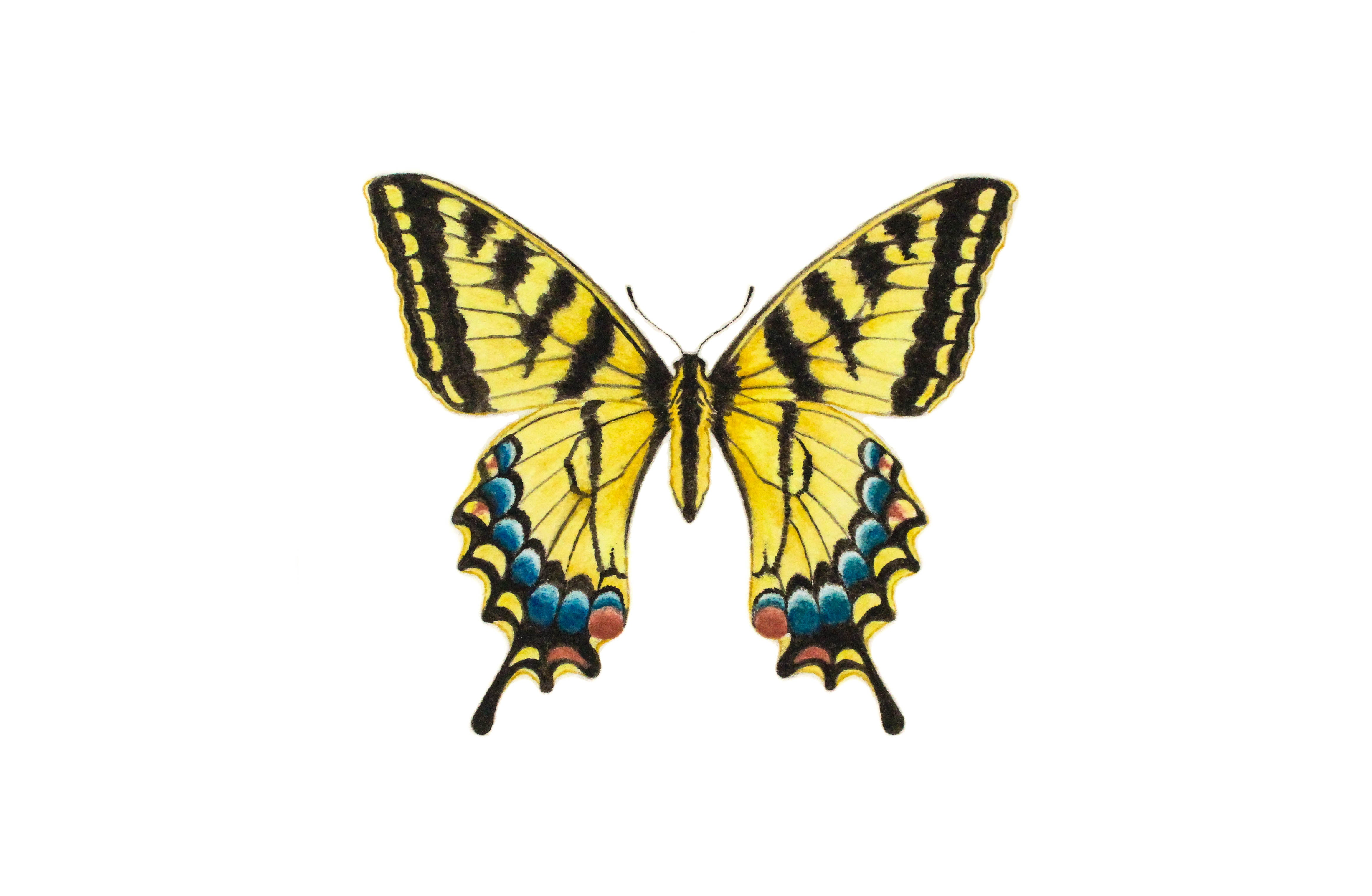 d1698ebdb Tiger Swallowtail Butterfly Paintable Project Digital Download – Greenleaf  & Blueberry