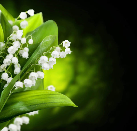 Lily of the Valley Fragrance - Goats in a Coat