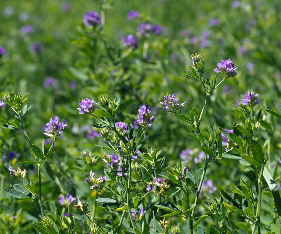 alfalfa grass is a common dairy cow grass