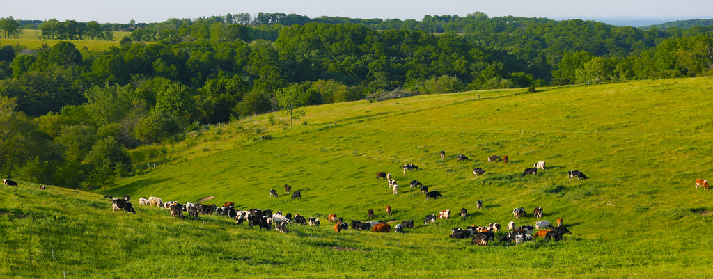 Rotational Grazing of Cows
