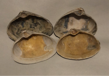 Atlantic Clam Shells from Quogue, New York